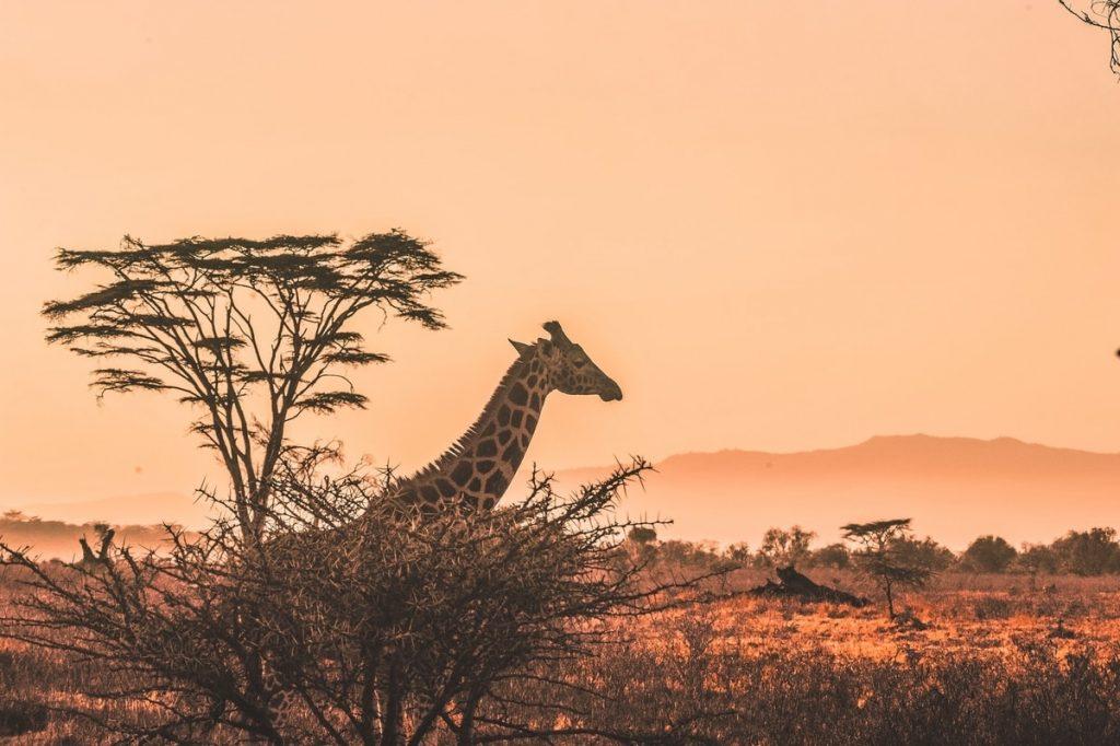 Giraffe and savannah sunset